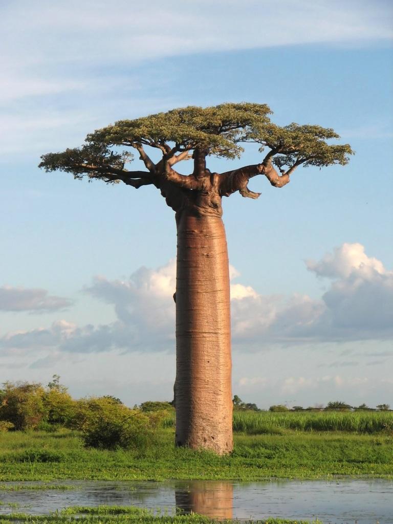 Los baobabs son árboles vagamente extraños, obscenos, llenos de una enfermedad de espesor, elefantitis fálica (texto de Rene Ferriot)